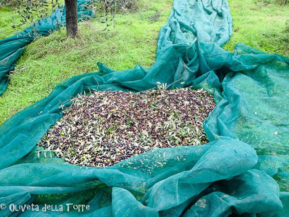 Olive nel telo di raccolta