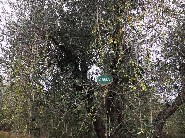 Adotta un olivo toscano per aiutare l'olivicoltura a rischio di abbandono