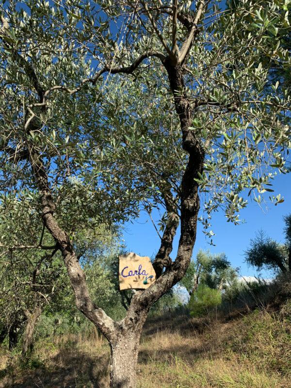 Adotta un olivo toscano!